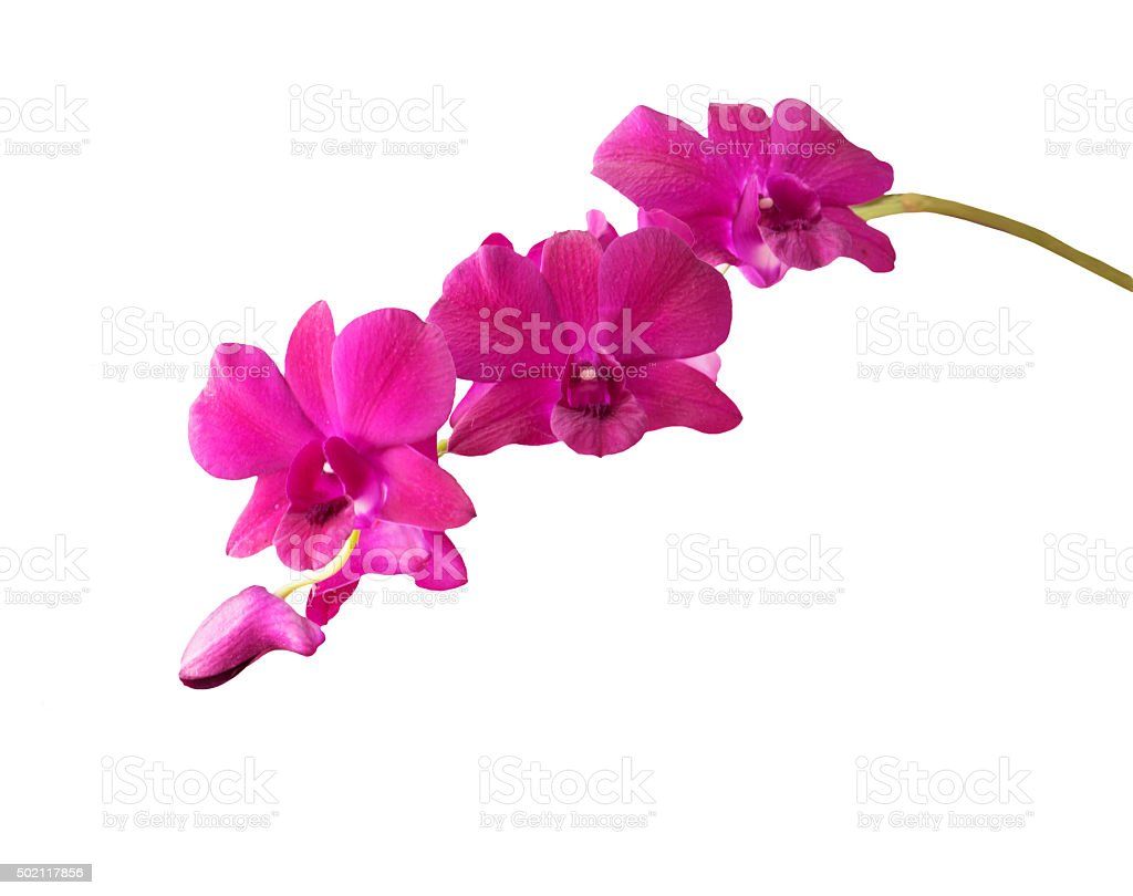 Purple orchid branch isolated on white background stock photo