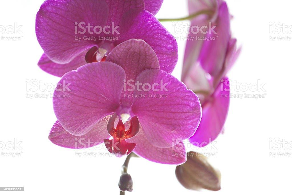 Фиолетовая орхидея крупным планом Стоковые фото Стоковая фотография