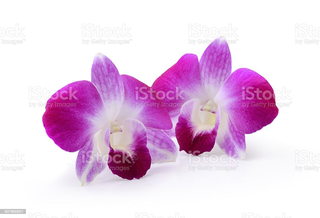 Purple Orchid Flower isolated on white background stock photo