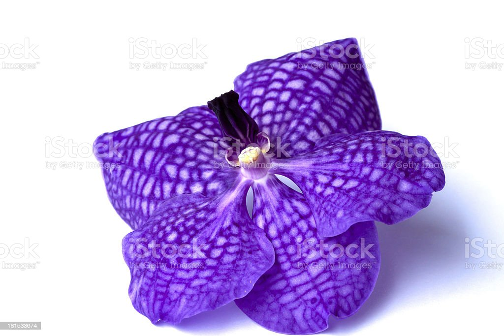 Purple orchid flower, isolated on white royalty-free stock photo