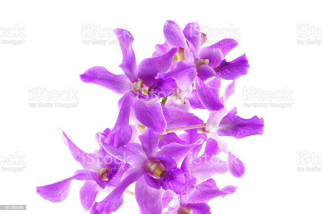 purple orchid flower isolated royalty-free stock photo