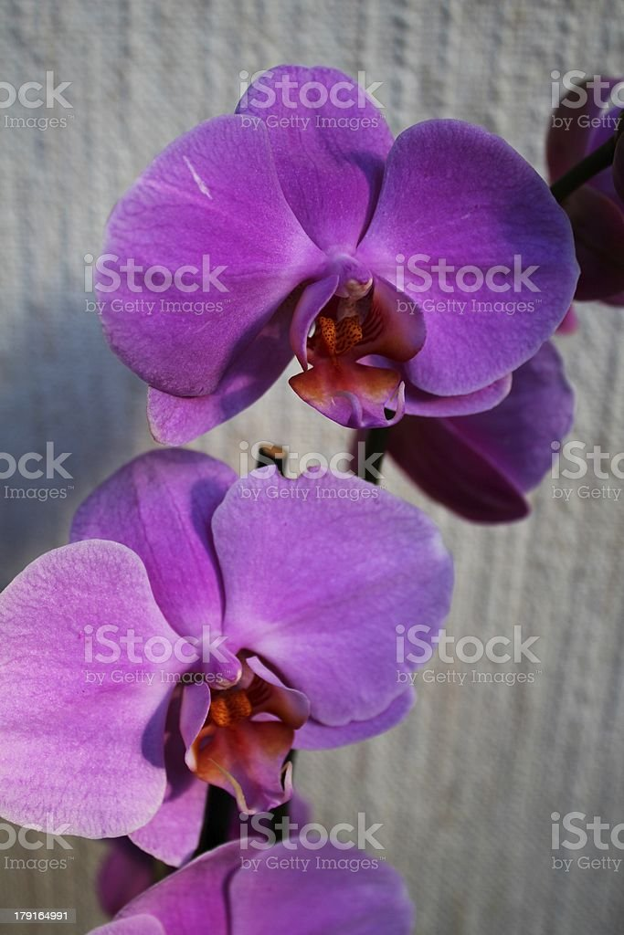 Purple orchid flowers (Phalaenopsis) royalty-free stock photo