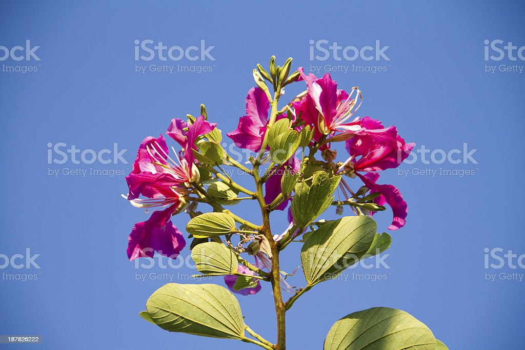 Purple Orchid Folwer stock photo