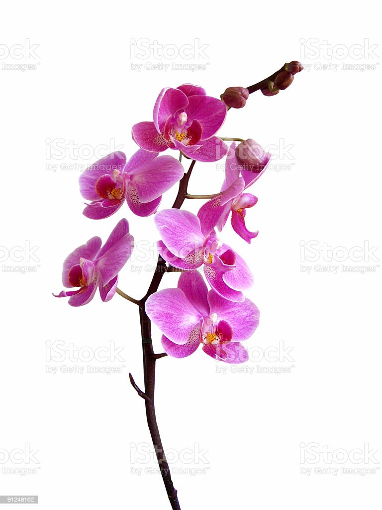 Purple orchid in bloom royalty-free stock photo