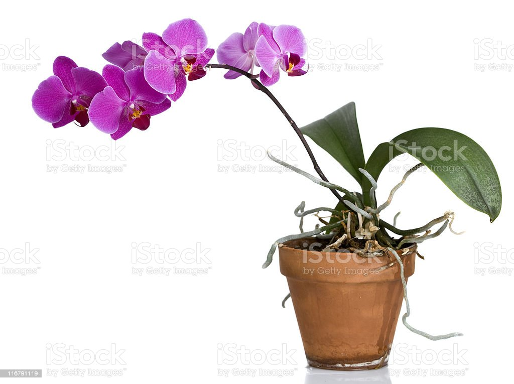Purple orchid in clay pot stock photo