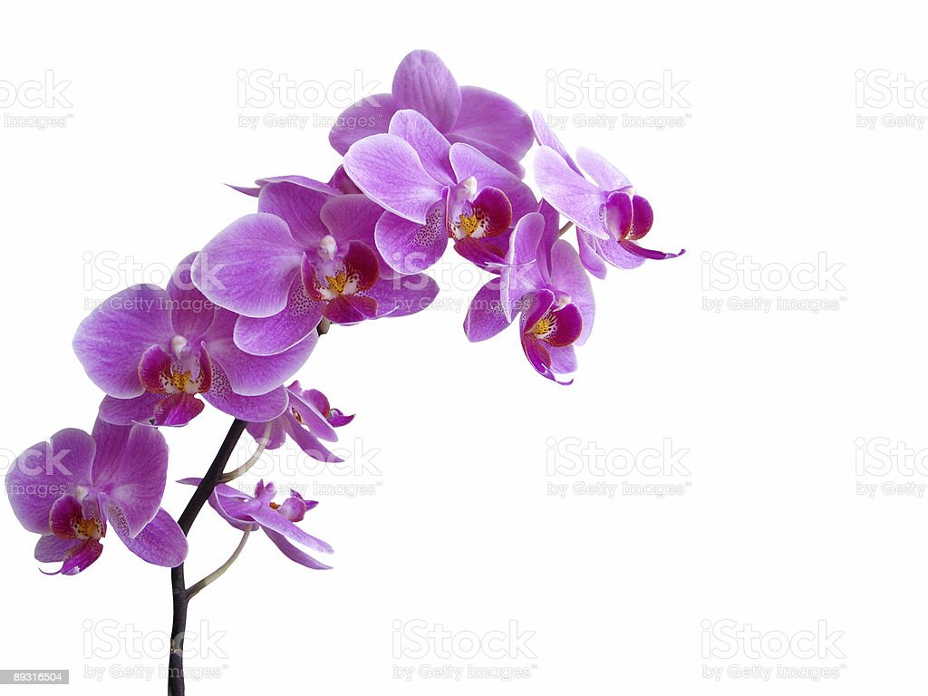 Purple orchid in full bloom stock photo