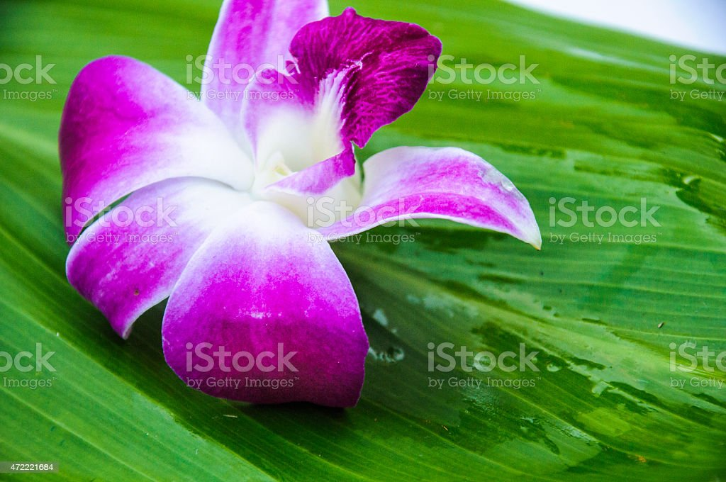 Purple Orchid on a Banana Leaf stock photo