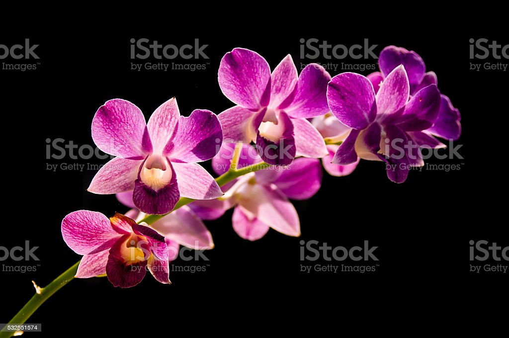 Purple orchid on black background stock photo