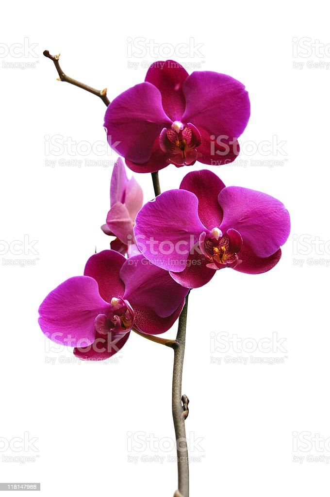 Purple orchid on white royalty-free stock photo