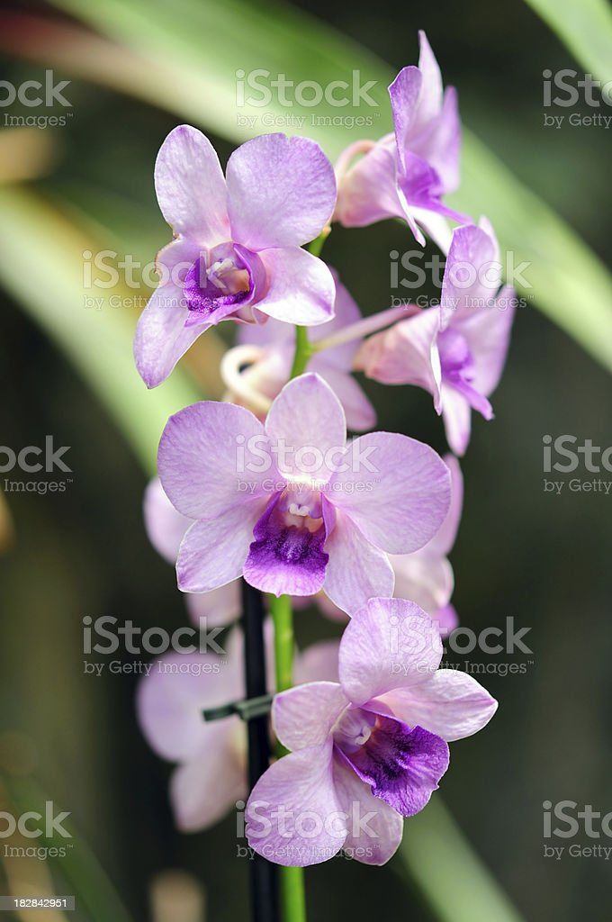 Purple orchid royalty-free stock photo