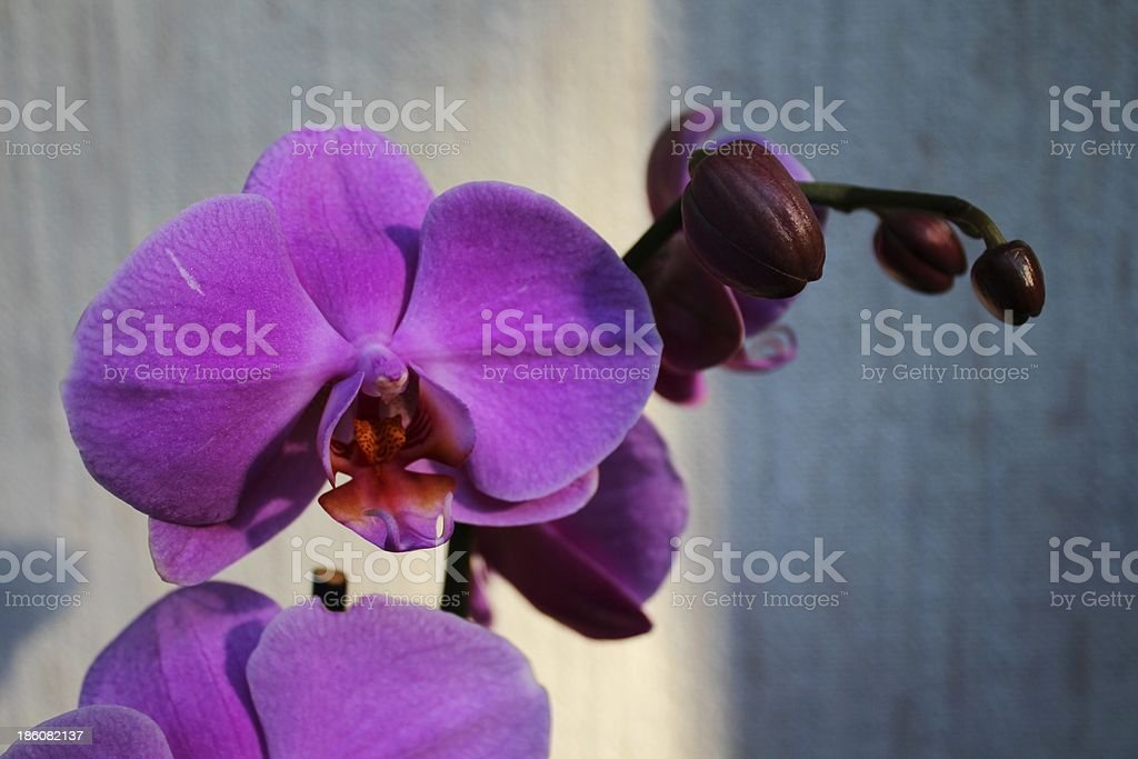 Purple orchid (Phalaenopsis) royalty-free stock photo