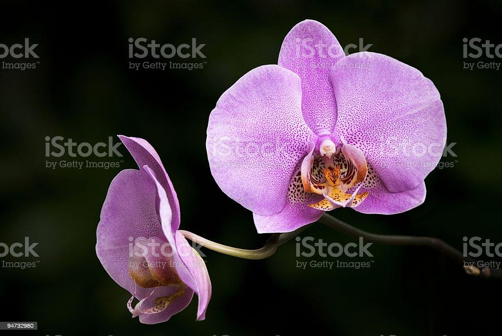 Orquídea roxa foto royalty-free