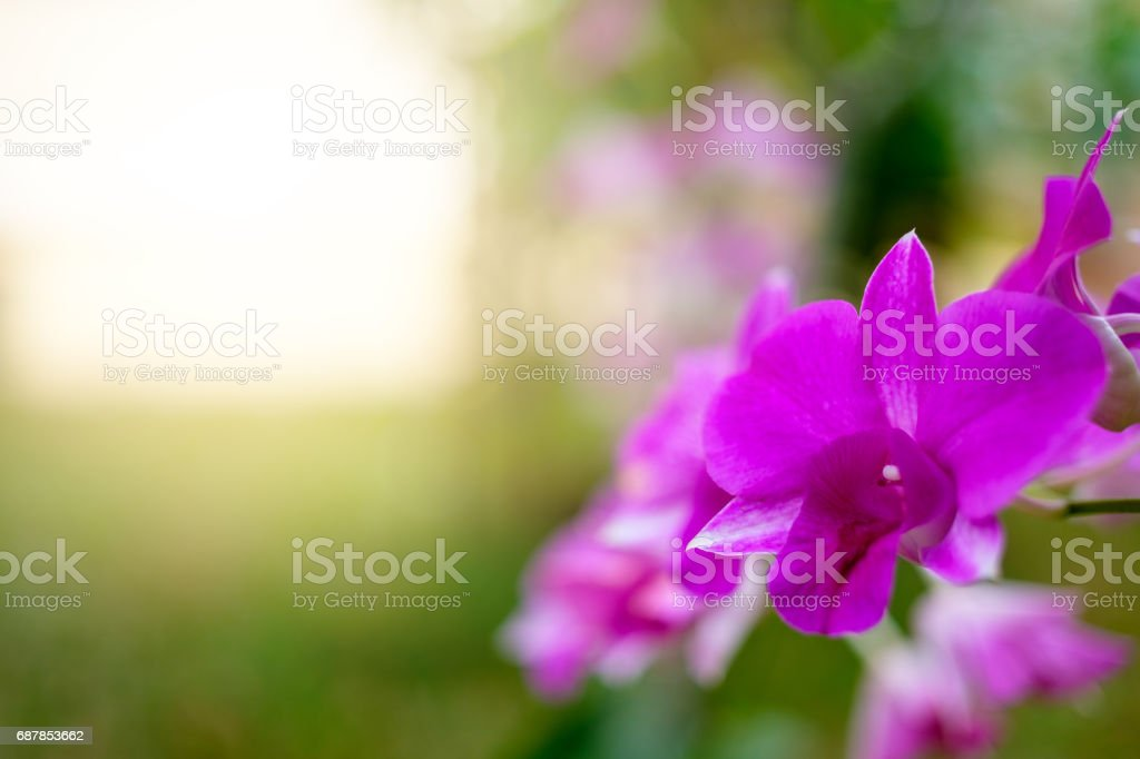 Purple orchids against the background of the early morning sunlight stock photo