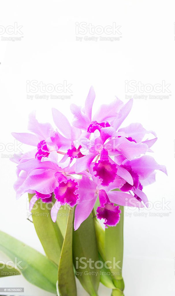 Purple orchids flower on white background and copy space stock photo