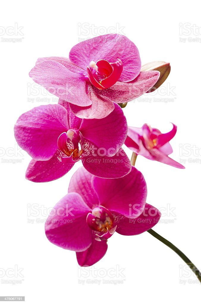 Purple orchids flowers small branch with bud stock photo