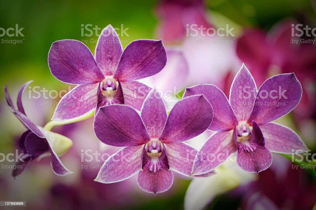 Purple orchids stock photo