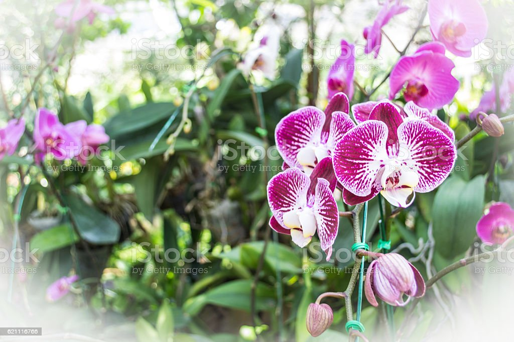 Purple orchids royalty-free stock photo
