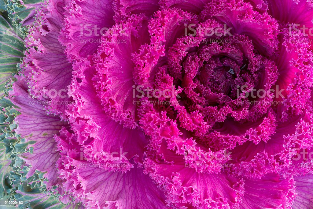 Purple ornamental kale close-up stock photo