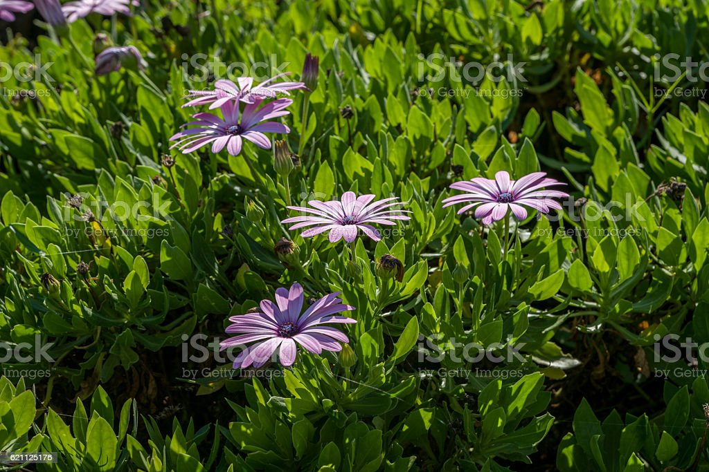 Purple osteopermum African daisies close-up. stock photo