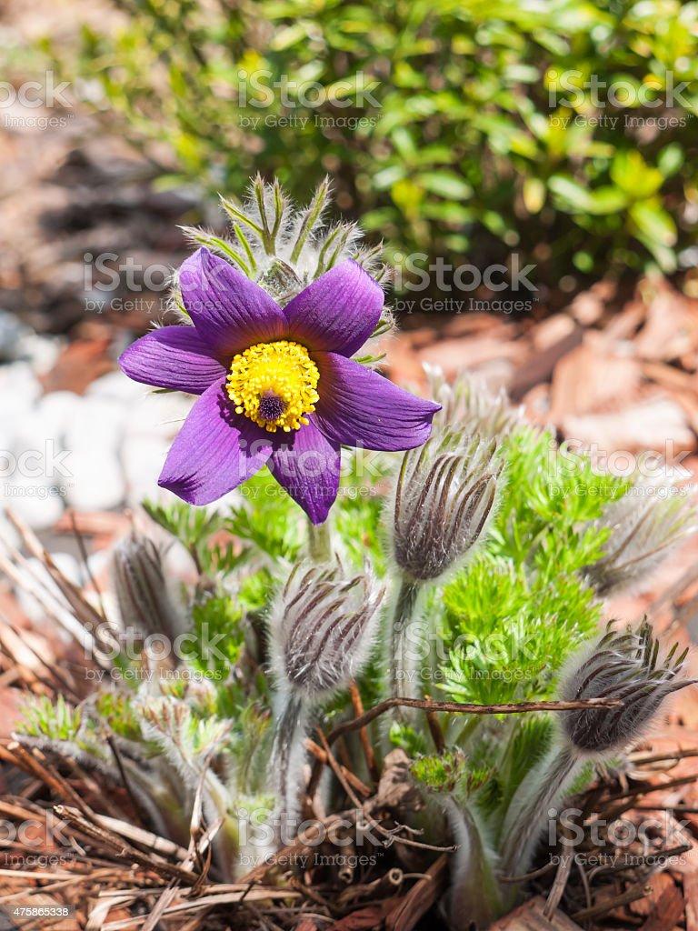 Purple pasque flowers on garden stock photo