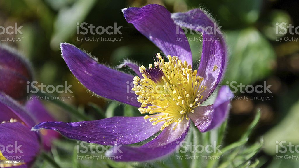 Purple Pasqueflower stock photo