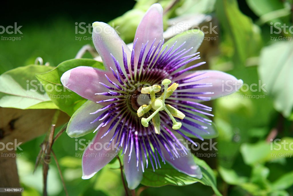 Purple Passion flower in full bloom  stock photo