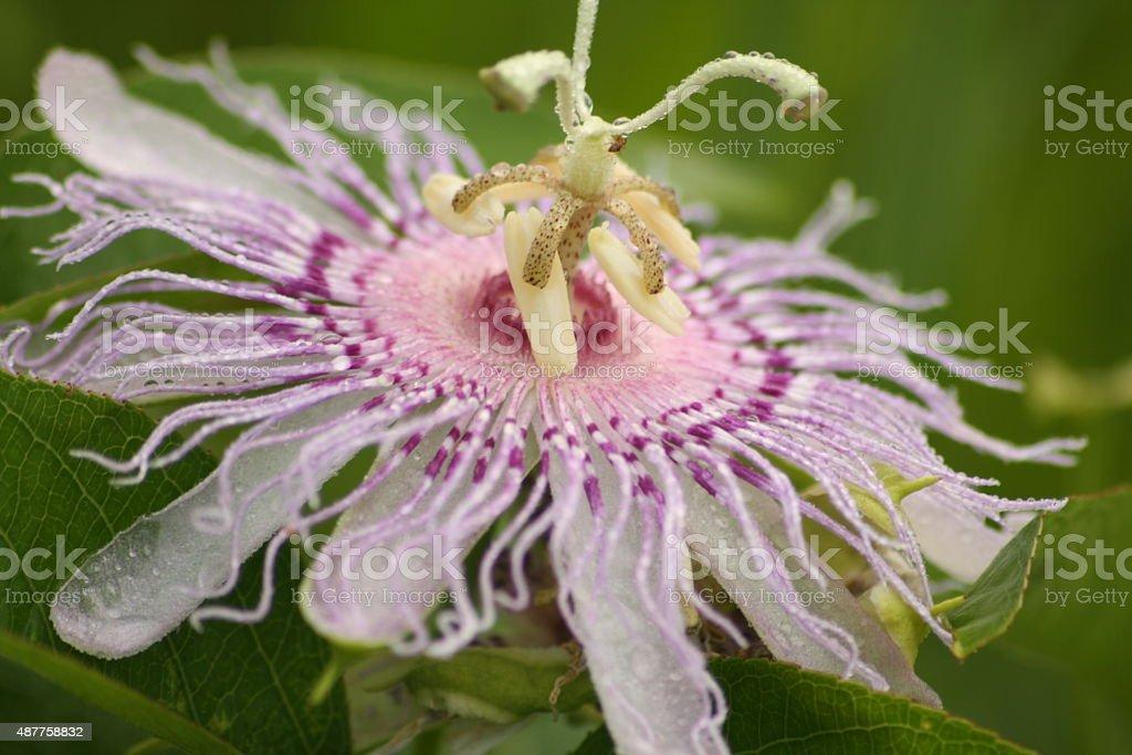Violet fleur de la passion photo libre de droits