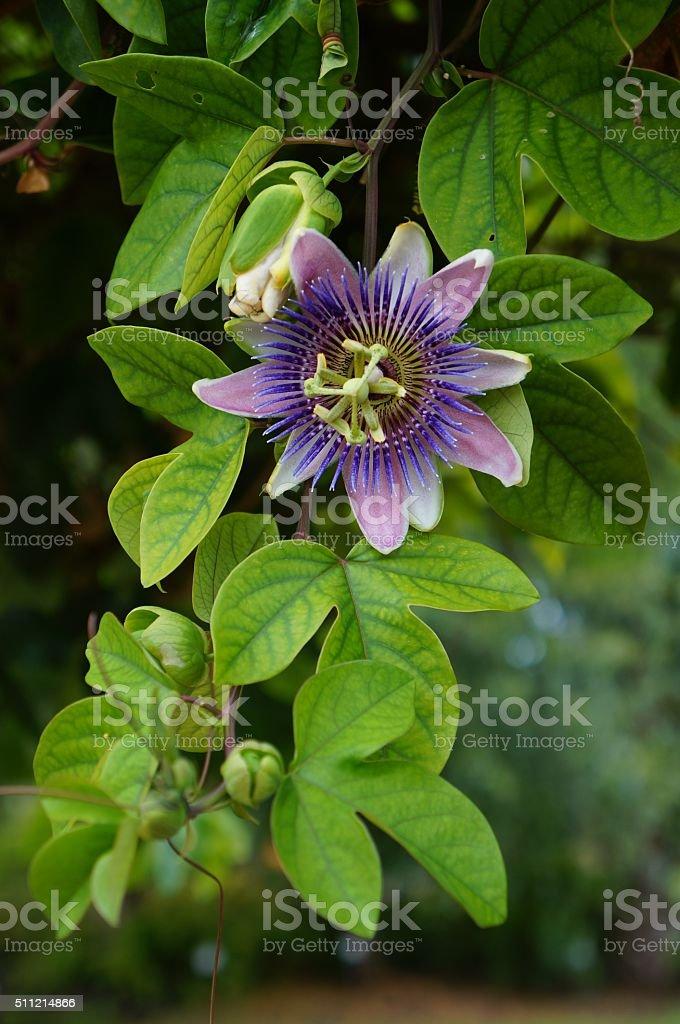 Púrpura la pasión foto de stock libre de derechos