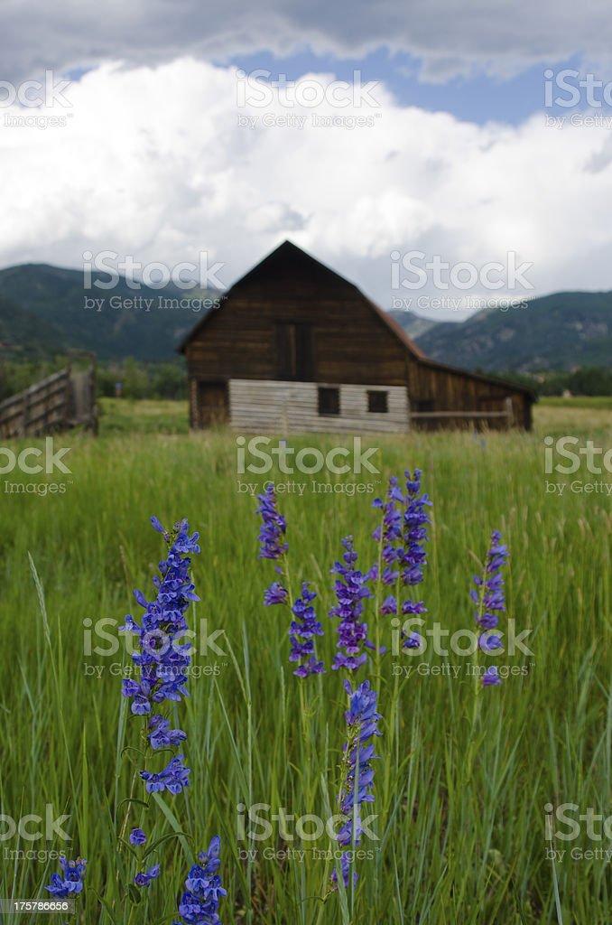 Purple Penstemon and Steamboat Springs Barn stock photo