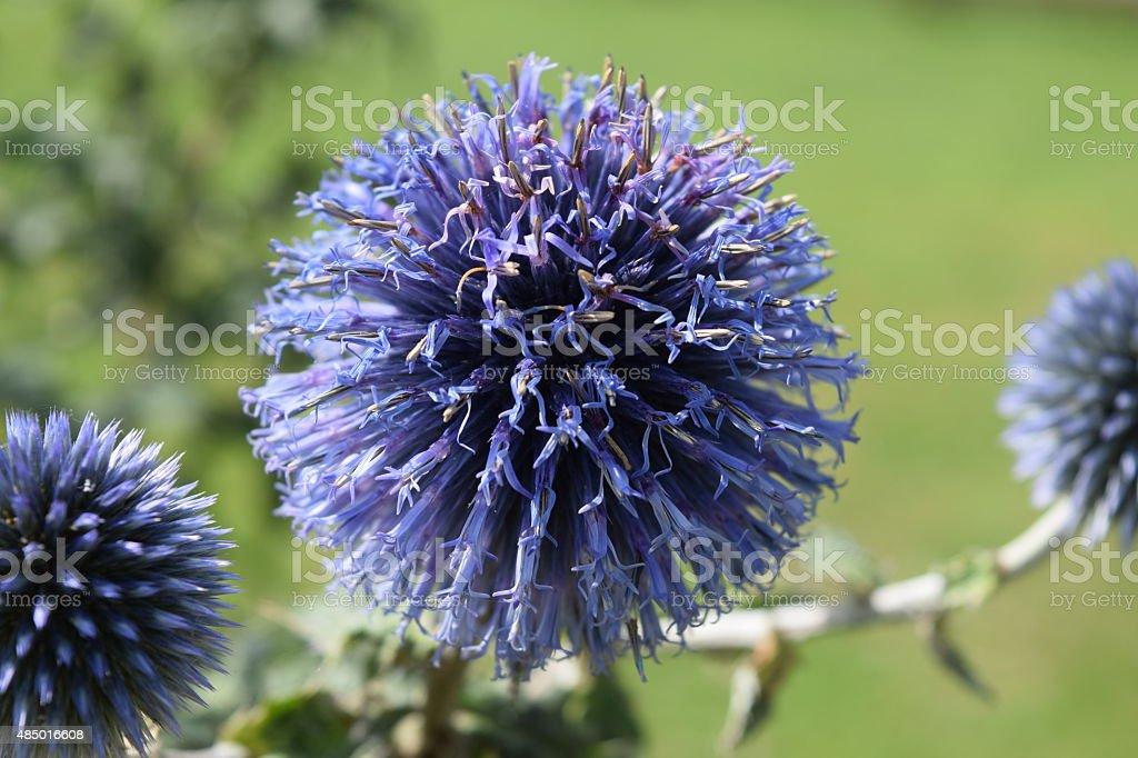 Purple Perennial Flowers royalty-free stock photo