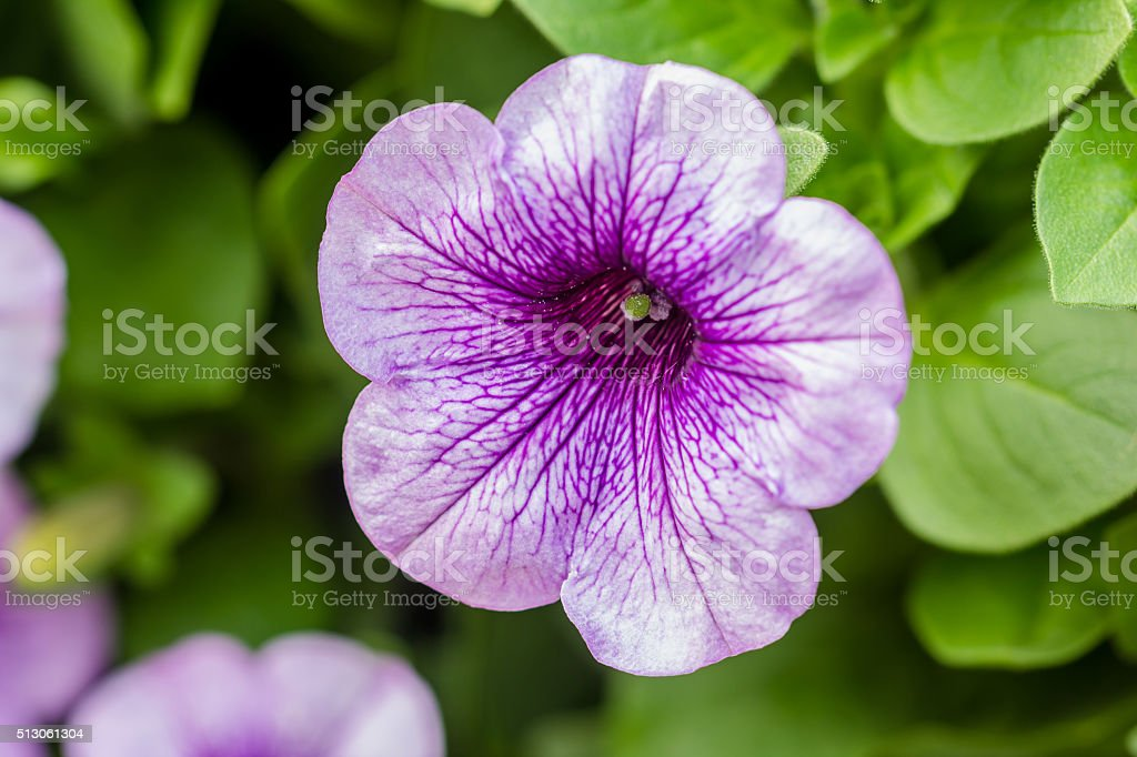 purple petunia flowers in the garden in Spring time stock photo