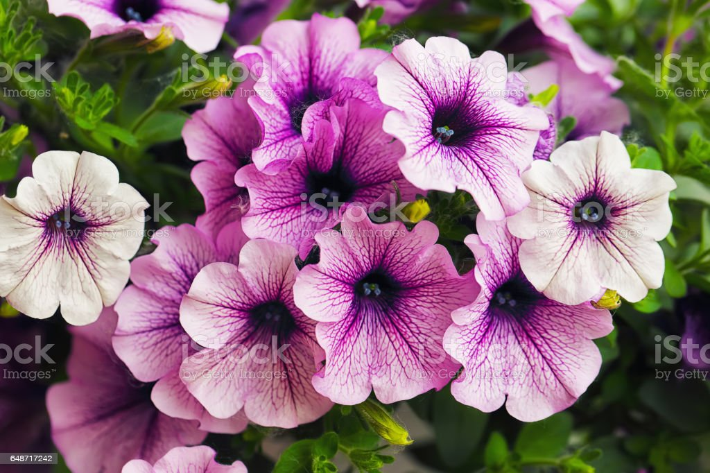 purple petunia flowers in the garden stock photo