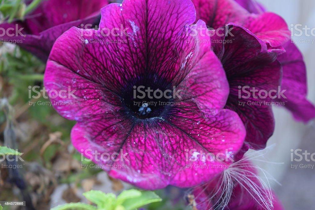 Purple Petunia royalty-free stock photo