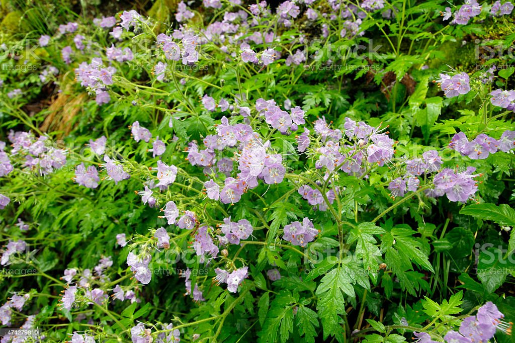 Purple Phacelia stock photo
