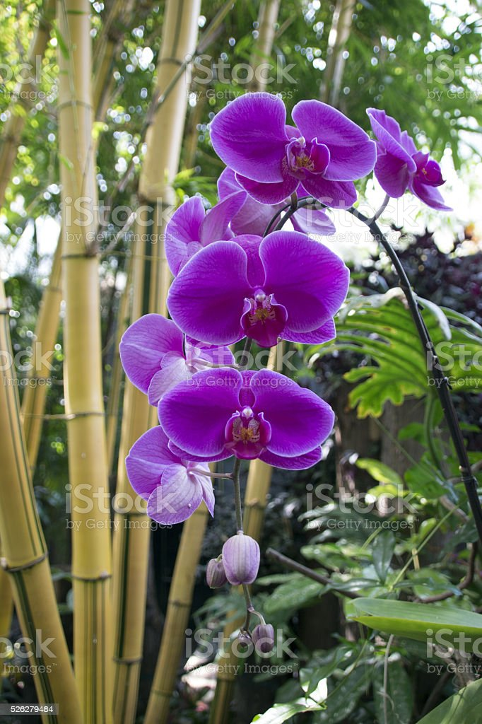 Purple Phal Orchid stock photo