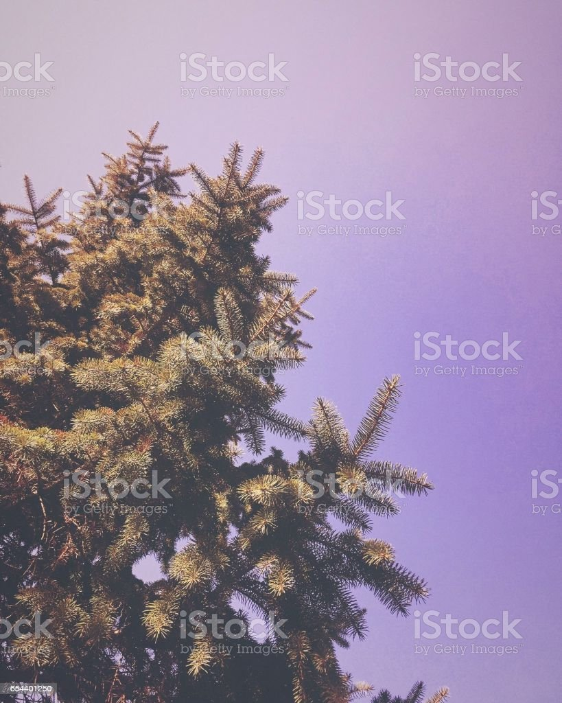 Purple Pine stock photo