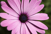 Purple pink african daisy macro detail