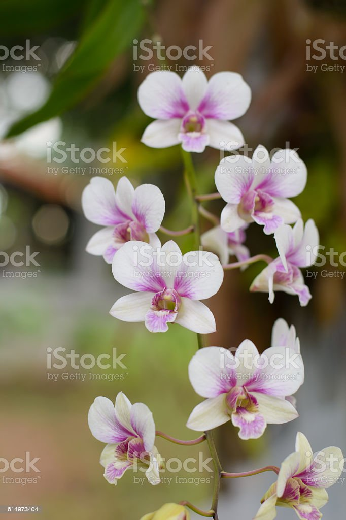 Purple, pink branch orchid flowers, Orchidaceae, Phalaenopsis stock photo