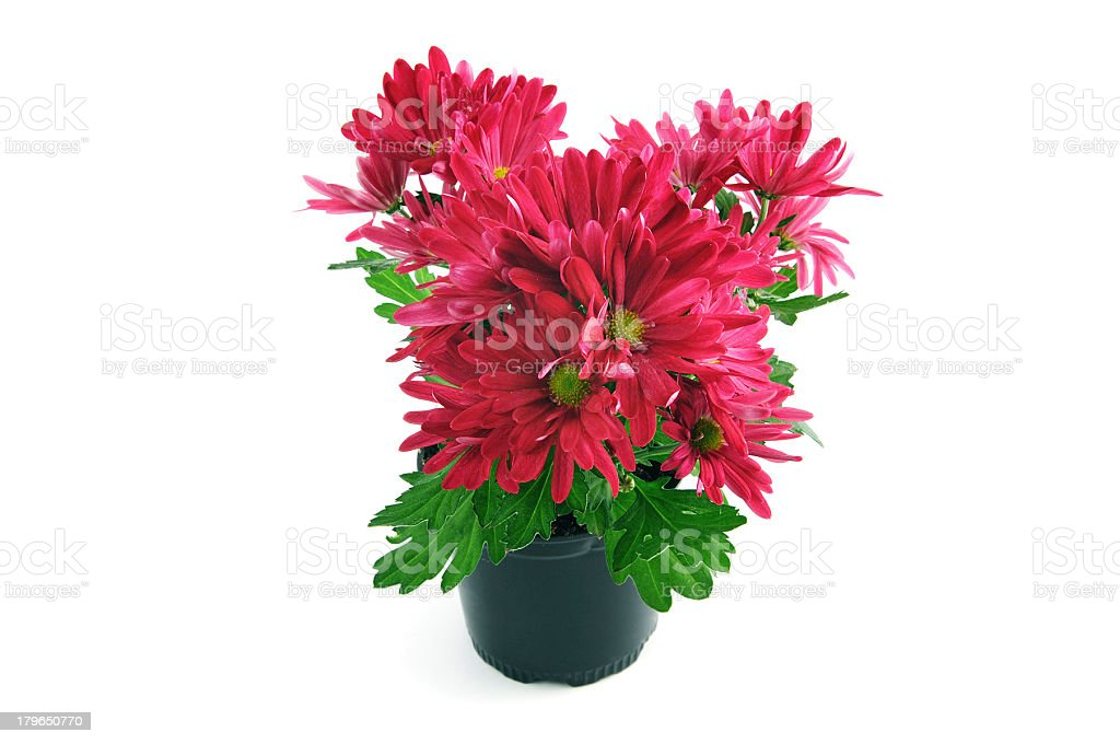 purple pink Chrysanthemums on white background stock photo