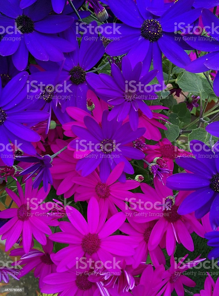 Purple & Pink Daisies stock photo