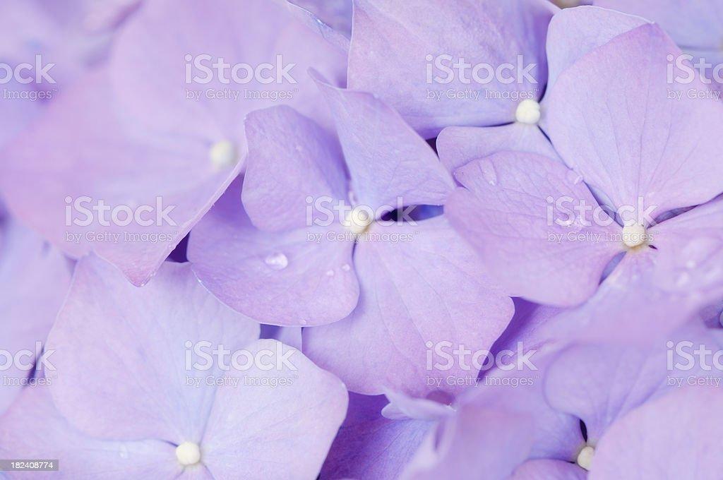 Purple pink Hydrangea flowers background royalty-free stock photo