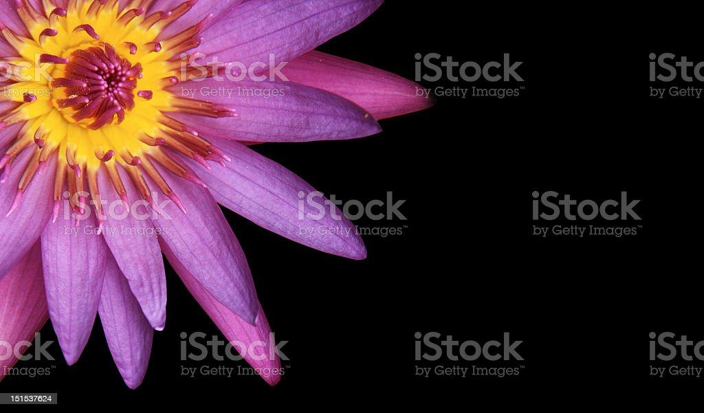 Purple pink Lotus royalty-free stock photo