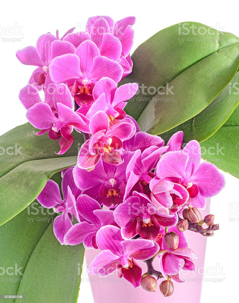 Purple, pink orchids flowers, Orchidaceae, Phalaenopsis stock photo