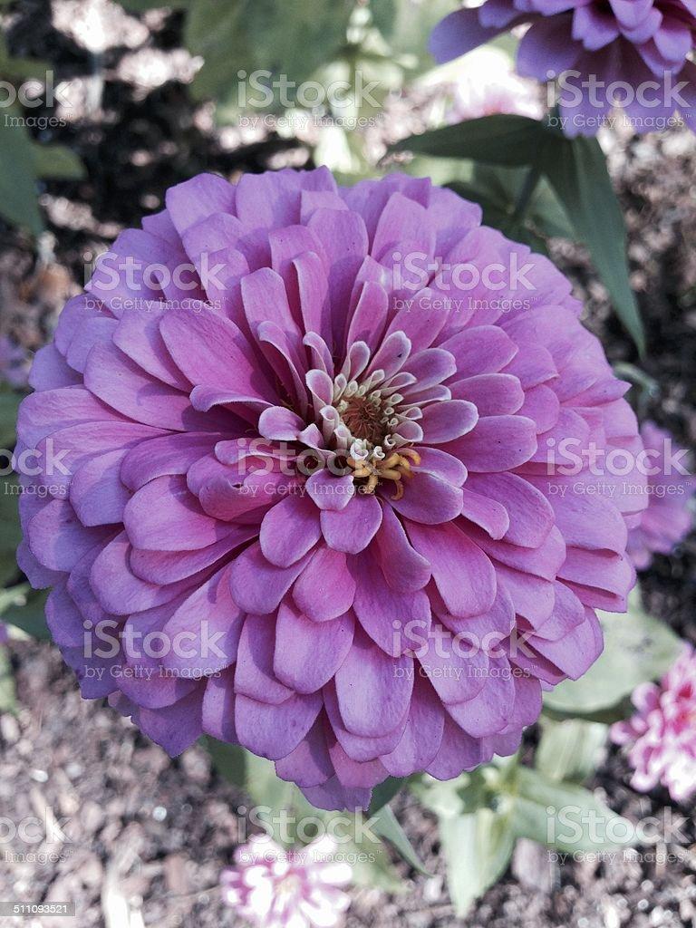 Purple Plant flower stock photo