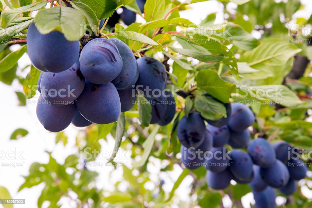 Purple Plum Orchard stock photo