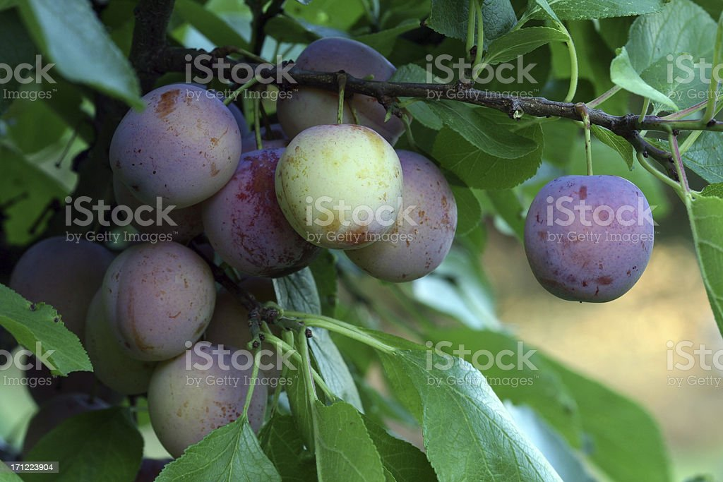 Purple Plums on a branch stock photo