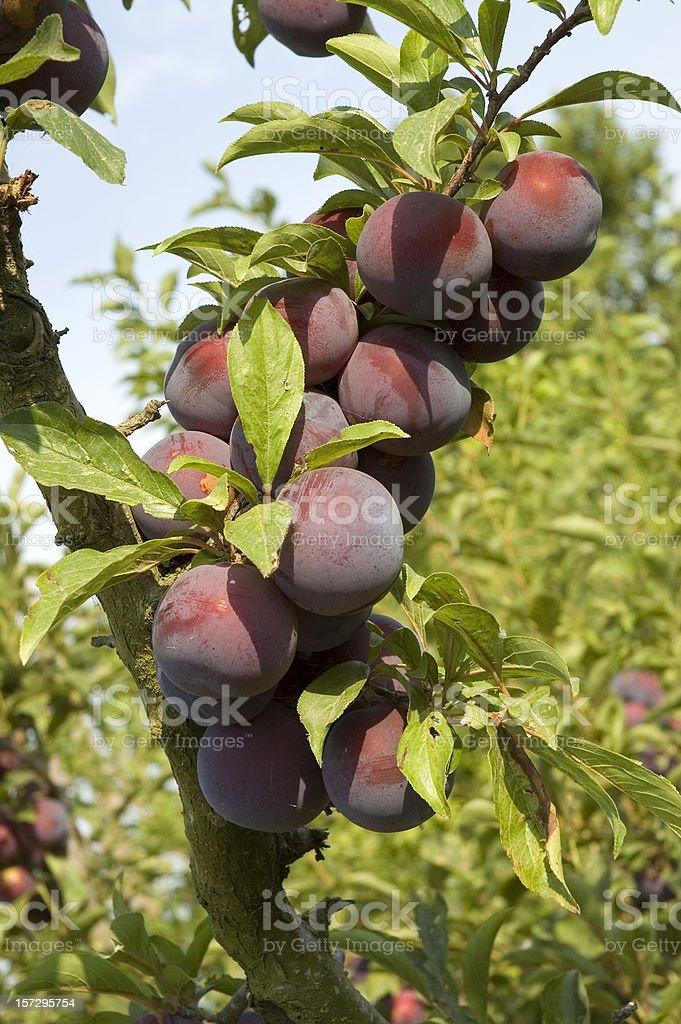 Purple plums stock photo