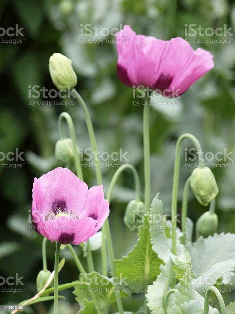 Purple Poppies stock photo