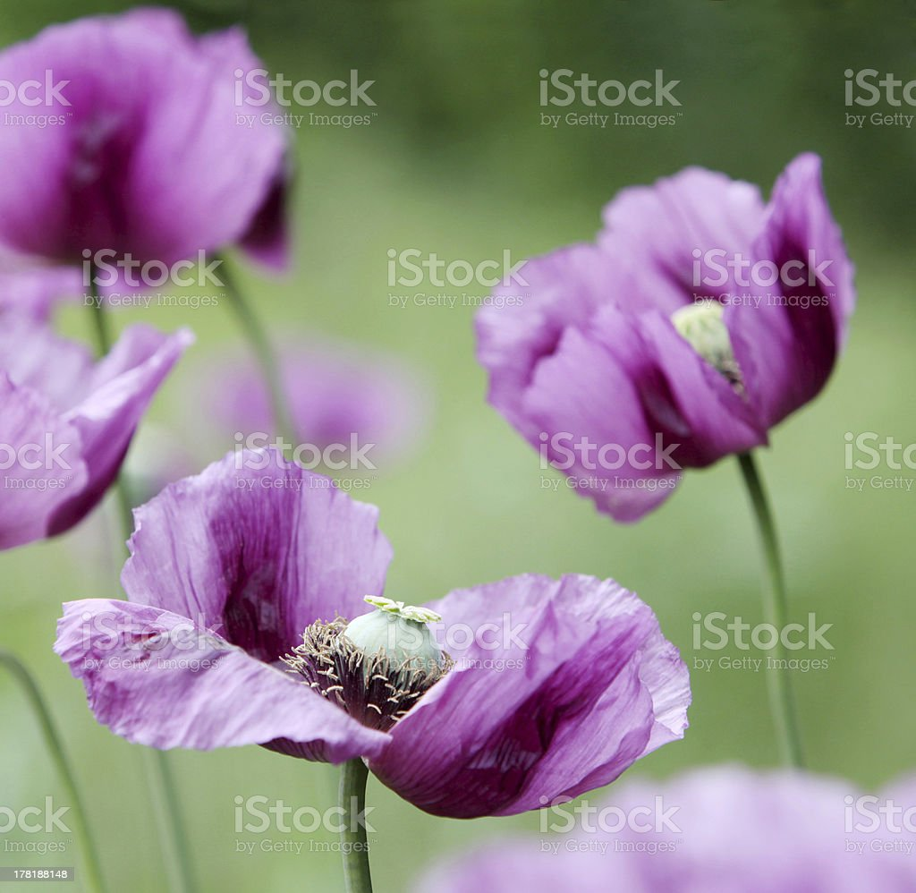 purple poppies royalty-free stock photo