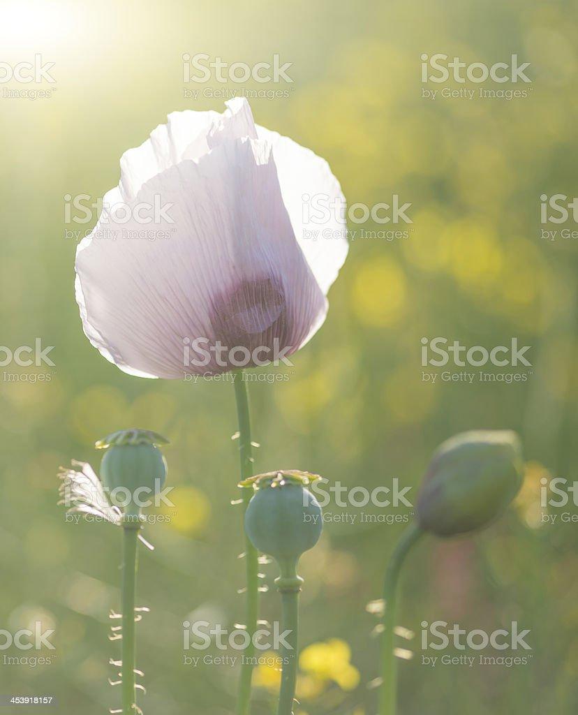 Purple poppy flower portrait in Summer sunlight royalty-free stock photo